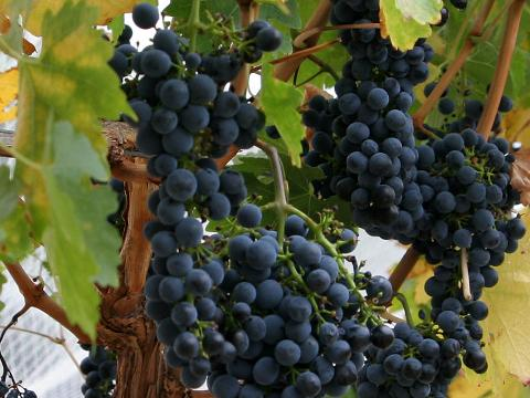 Réva vinná – Vitis vinifera